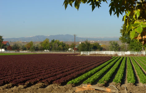 Photo of fields at Petrocco Farms growing lettuce and green in Brighton Colorado